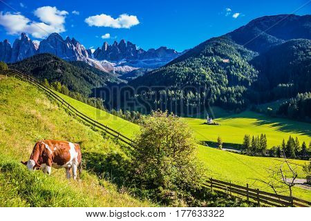 On the green grass hillside grazing cow.  Sunny day in Dolomites. Forested mountains surrounded by green Alpine meadows. The concept of an active and eco-tourism