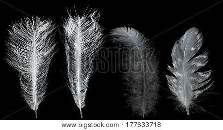 white feathers isolated on black background.