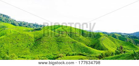 Panorama of tea plantations in Cameron Highlands, Malaysia. Green hills landscape