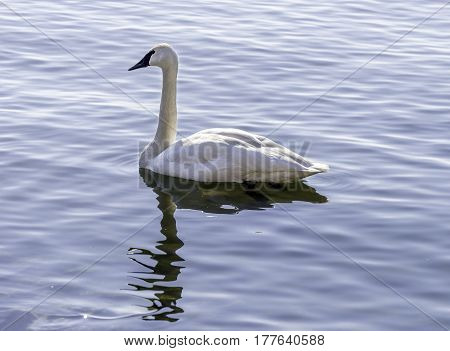 Strong graceful trumpeter swan swimming peacefully on a calm lake