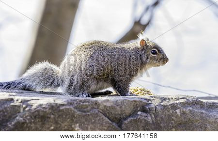 Gray and brown squirrel paused by a pile of seeds in his environment ready to eat food closeup detail