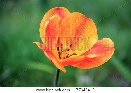 Bright orange tulip on a green background