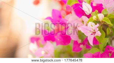 Soft focus of Pink Bougainvillea glabra Choisy flower with leaves Beautiful Paper Flower vintage in the garden grass background blurryAsian flowers poster