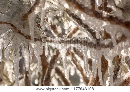 Colorful spring background with a pattern of ice and icicles of different shapes and sizes on intertwined branches and pine needles