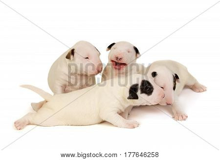 Four Miniature Bull Terrier Puppies, playing over white background. The cheerful, smiling puppies photo for your animal family designs