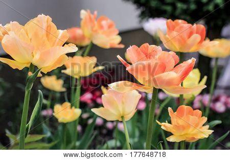 Flowering of beautiful tender tulips in the spring