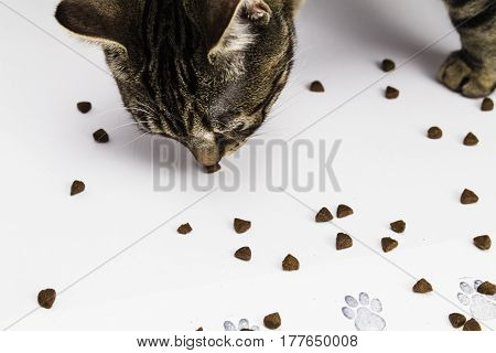 A tabby kitten eating kitten biscuits - crackers
