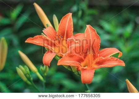 Two brightly orange lilies on a green background