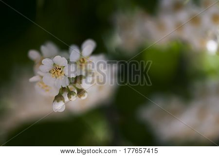 White choke cherry flowers bloom in springtime.