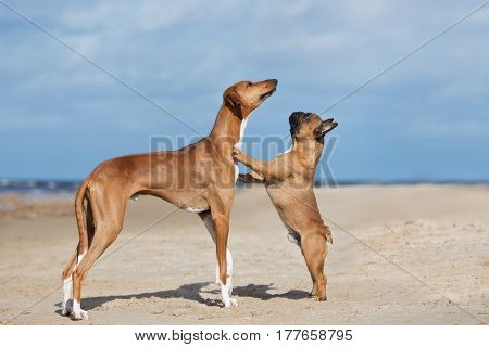 two red dogs posing together on the beach