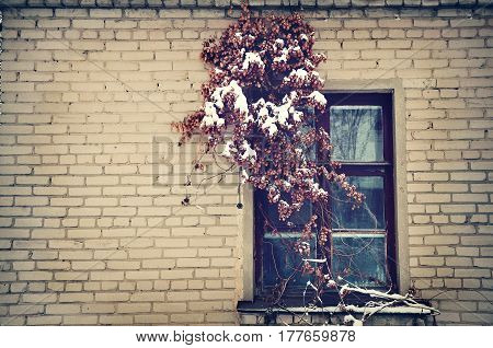 Window in an old brick house with the dried hops in the winter