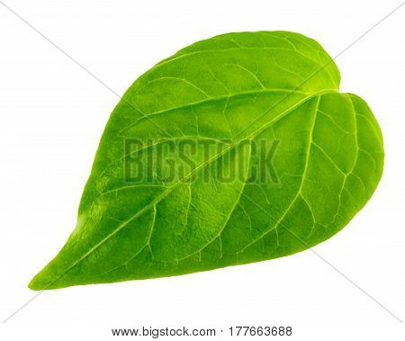 Green leaf isolated on white background, close-up
