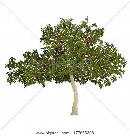 Fig tree (Ficus carica) with mature fruits in the summer on a white background
