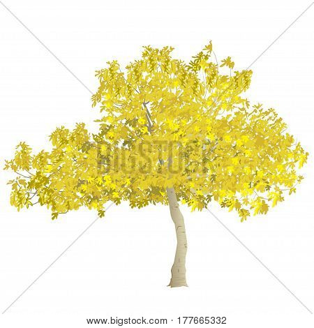 Fig tree (Ficus carica) with yellow leaves in the fall on a white background