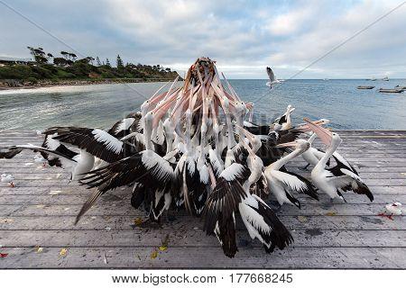 Pelican Feeding In Kangaroo Island, Australia
