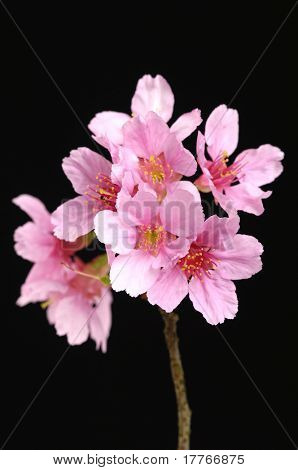 Black background with pink spring blossoms.