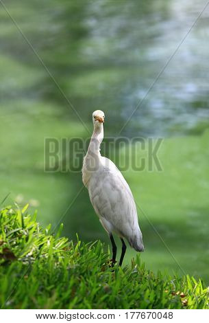 Intermediate Egret Egretta intermedia standing at the pond beautiful background in green