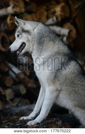 grey Siberian husky dog near woodpile firewood