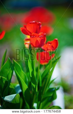 Red tulips brightly lit by the sun. Tulips in the spring. Shallow depth of field. Selective focus. Vertical shot.