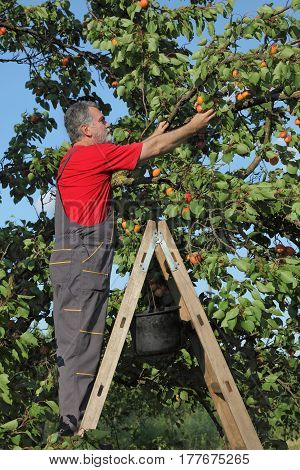 Farmer Picking Apricot Fruit In Orchard