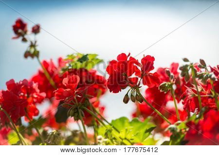 Red flowers in foreground and blue sky in background