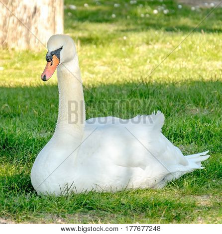 white swan grass squared format animal cygnus