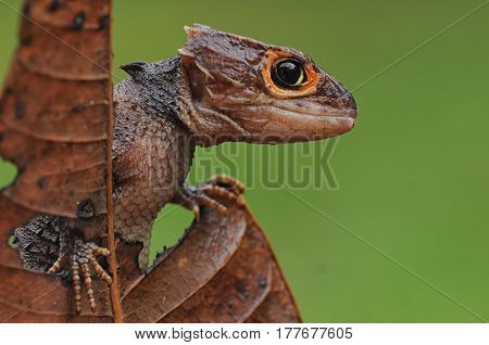 Side view in the looking croc skink