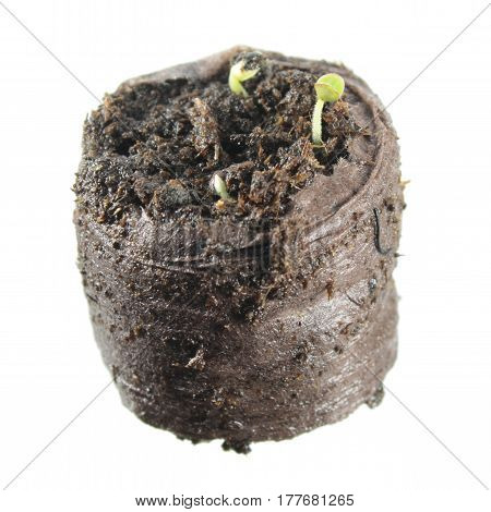 Seedling of common sage in clod of soil isolated on white background