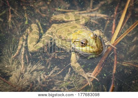 Close  image of anuran frog sitting in water with head in the air