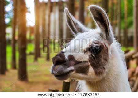 Wild Animal Lama On The Nature. Palanga