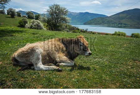 Cows On Island Of St. Ahileos At Lake Prespa, Greece