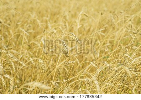 Field with a large golden ears of ripe wheat close-up
