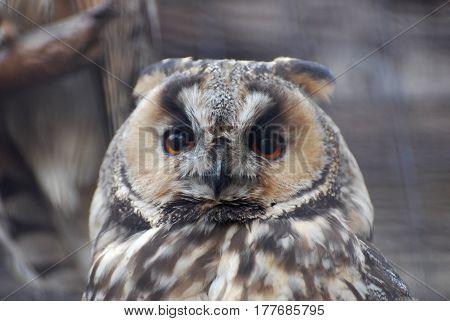 Detail face portrait, big orange eyes and bill, Eagle Owl, Bubo bubo