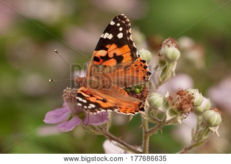 Magnificent elegant orange butterfly collects nectar in summer