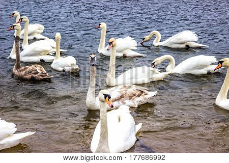 Whooper Swans swim on the shore of the reservoir in Belarus (Minsk the Minsk sea)