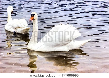 Whooper Swans swims near the shore of the reservoir in Belarus (Minsk the Minsk sea)