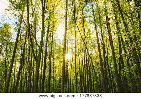 Spring Sun Shining Through Trunks Of Tall Trees Woods In Forest In European Part Of Russia. Sunlight In Mixed Forest, Summer Nature. Branches Of Different Deciduous Trees Summer Background. Nobody