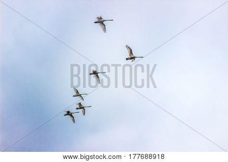 Whooper Swans fly in sky in Belarus (Minsk)