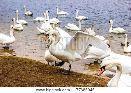 Whooper Swan flaps wings on background other whooper swans near shore of the reservoir in Belarus (Minsk the Minsk sea)