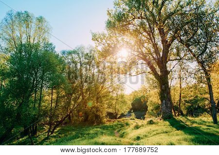 Sun Shining Through Branch And Foliage Of Oak Tree At Spring Season. Deciduous Forest Summer Nature In Sunny Day. Sunset Or Sunrise Time.