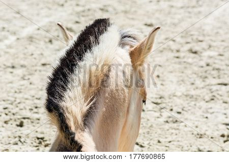 Head with beautiful mane of a small horse pony.