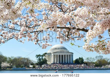 Washington DC in springtime - Jefferson Memorial during Cherry Blossom Festival