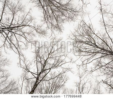 The dark winter birches against the sky bottom view