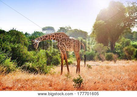 Giraffe in the savanna a walking foot. Kenya