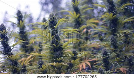 Cannabis/Hemp Plants in the Flowering Phase. Marihuana.