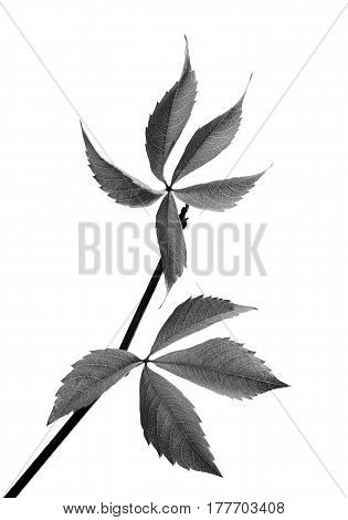 Black And White Twig Of Grapes Leaves