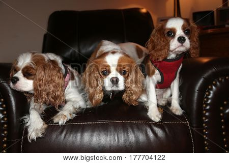 Four beautiful King Charles Cavalier Spaniel Dogs smile and pose on a leather chair.