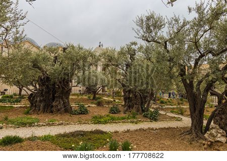 The Gethsemane Olive Orchard Garden located at the foot of the Mount of Olives Jerusalem Israel.
