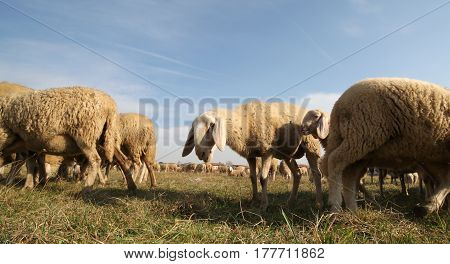 Sheep Of A Large Flock Grazing In Winter