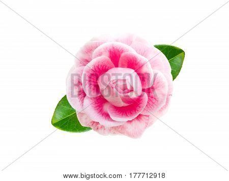Tender pink camellia rose form flower with leaves isolated on white
